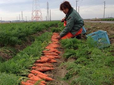 にんじん収穫風景